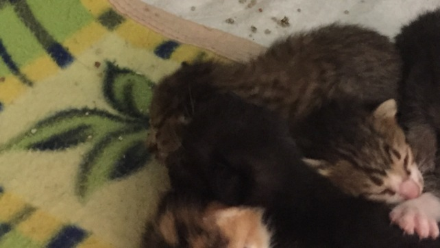 C926-Ladonna kittens (2)