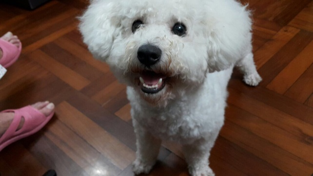 Bichon post on Facebook for adoption (2)