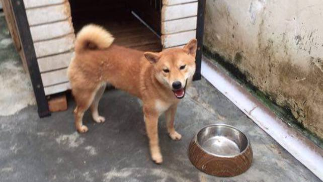 Toffee (Shiba Inu), female, 9 months old