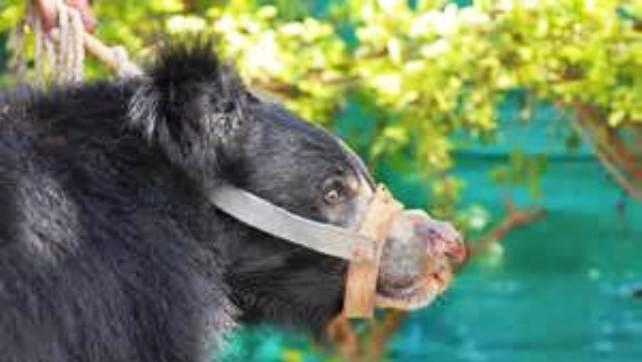 muzzled animal2